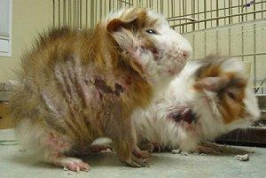 wypadanie włosów u świnki morskiej