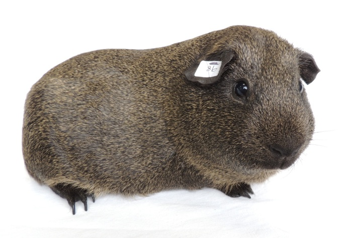 lemon-agouti-boar-adult