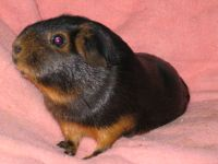 Cavia_porcellus,_'black-and-tan'_coloring