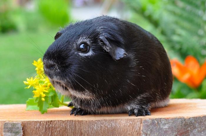 guinea-pig-500236_960_720
